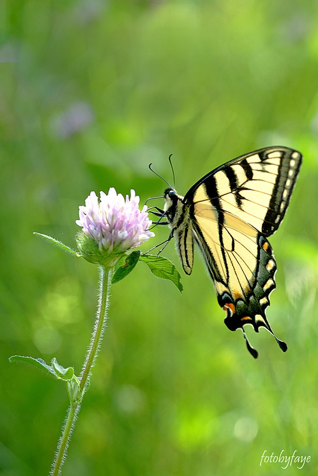 Yellow swallowtail butterfly! by fayefaye