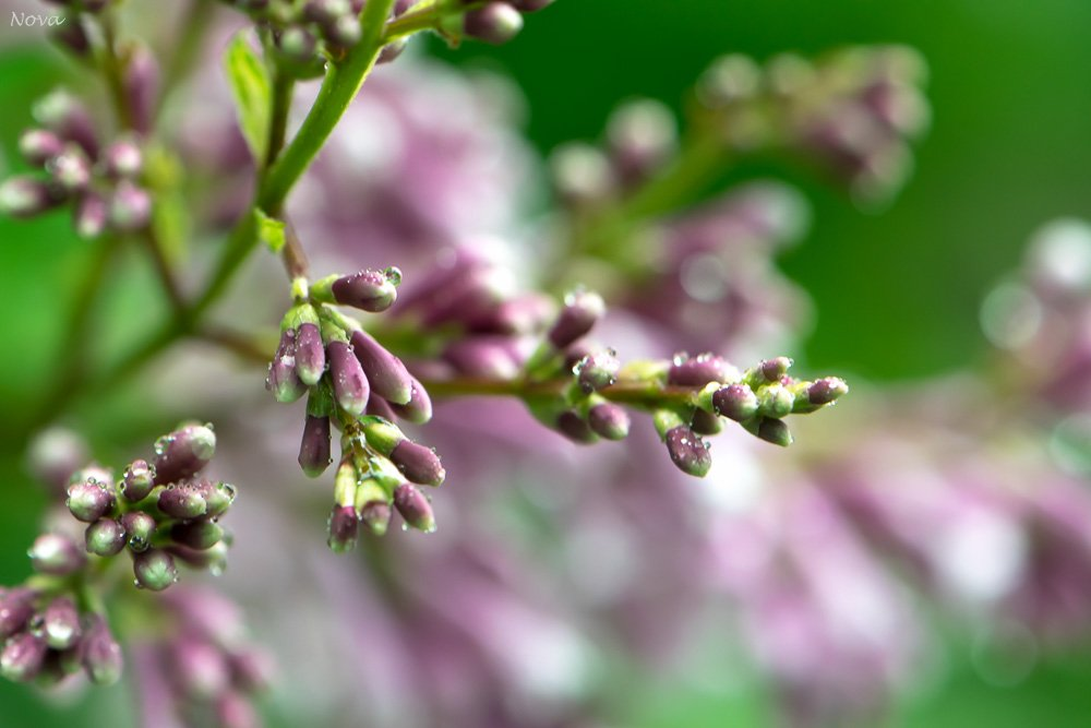 Lilacs in the rain by novab