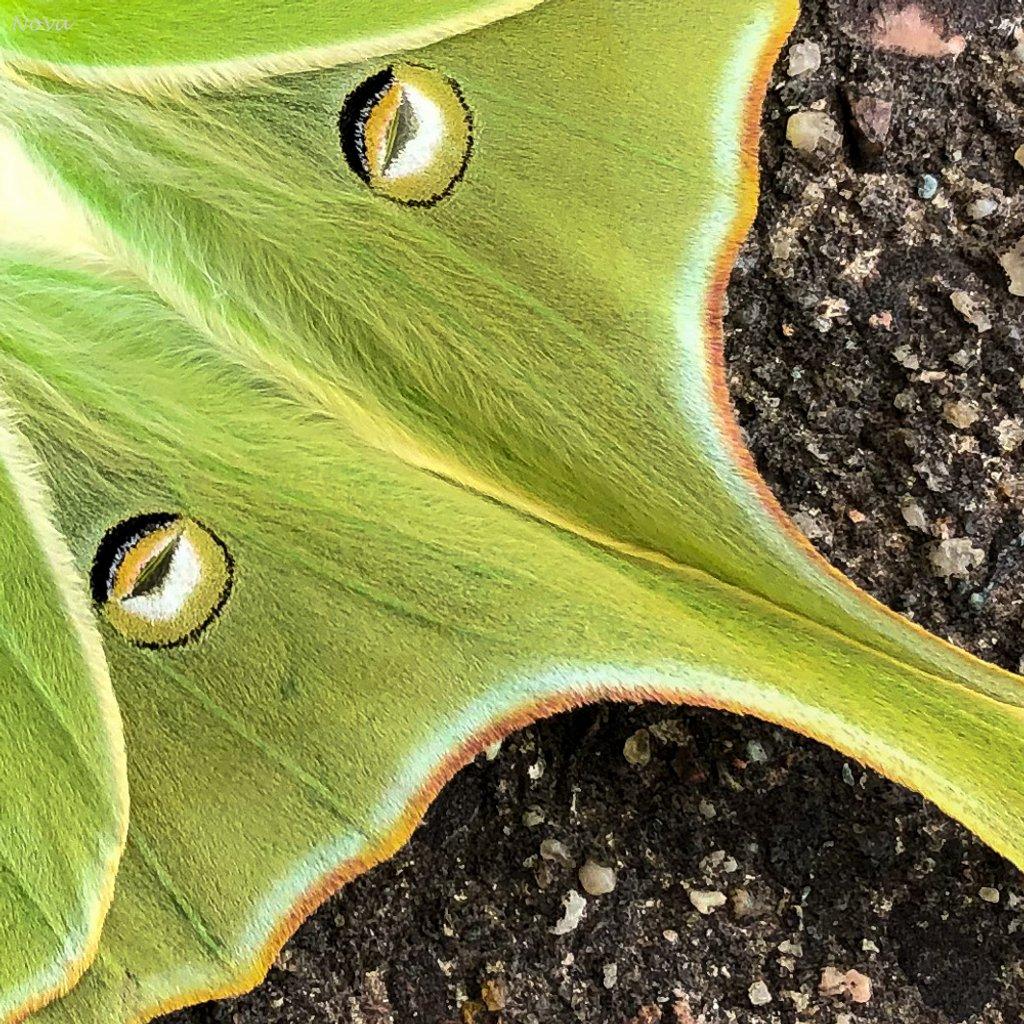 Luna moth by novab