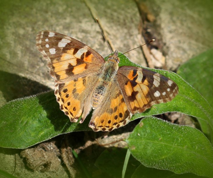 Painted Lady by wendyfrost