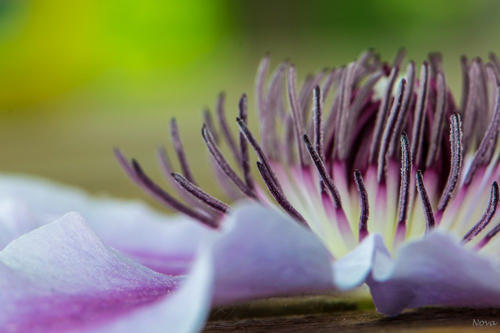 Clematis by novab