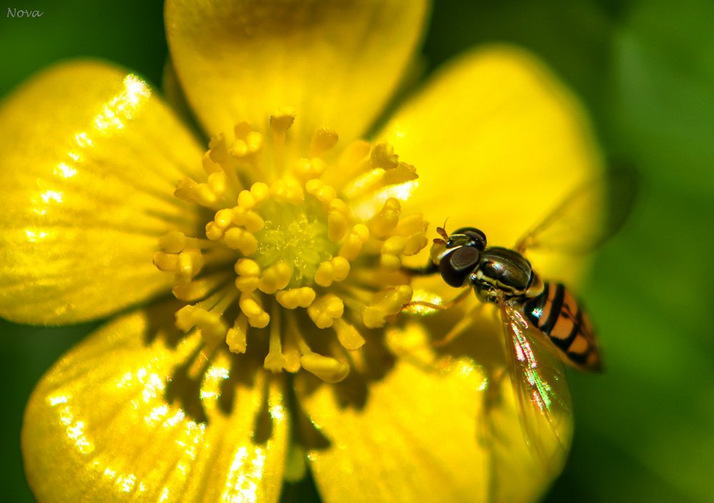 Hoverfly or Flower fly by novab