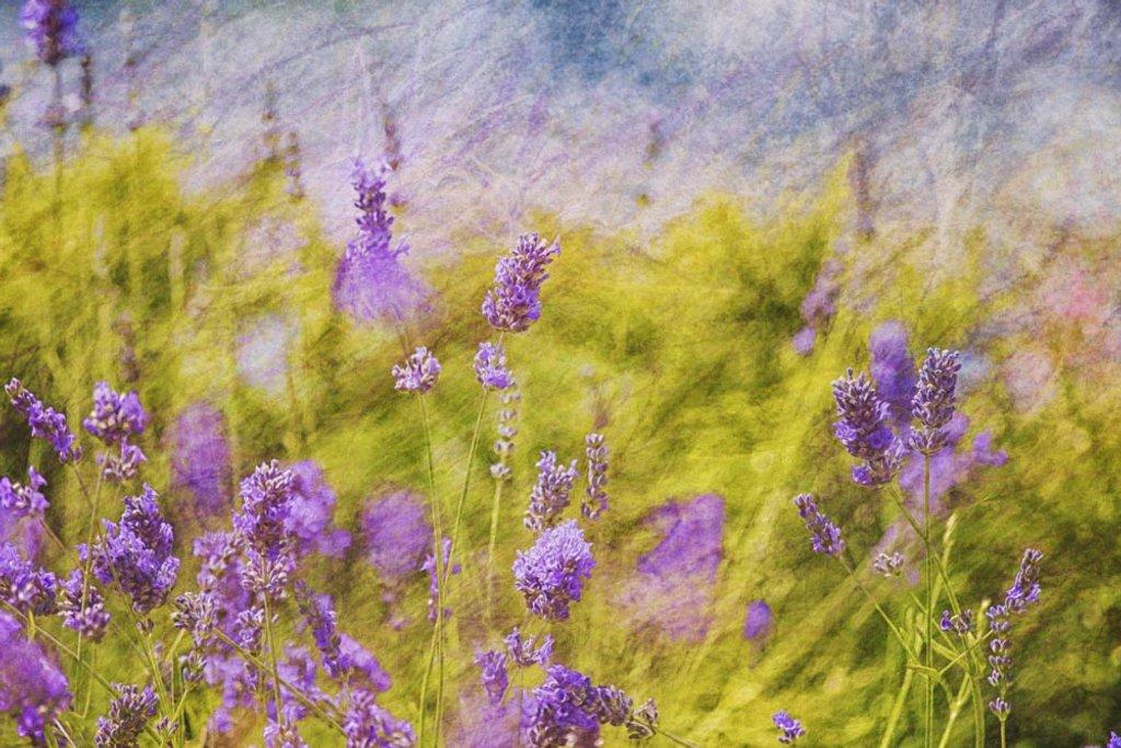 Lavender by pamknowler