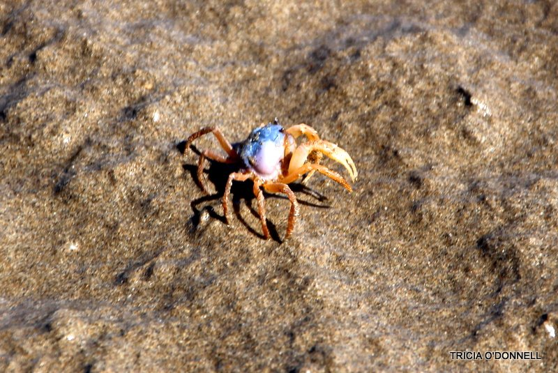 Blue crab  by triciaodonnell