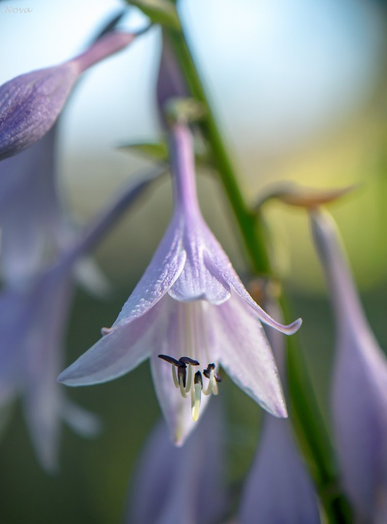 Hosta flower by novab