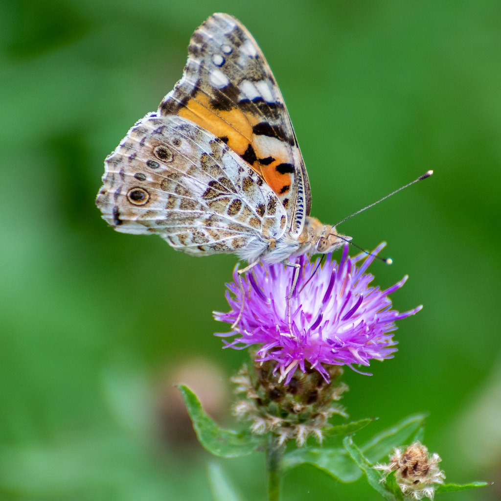 Painted Lady by rjb71
