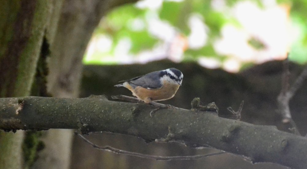 Red-breasted Nuthatch by stephomy