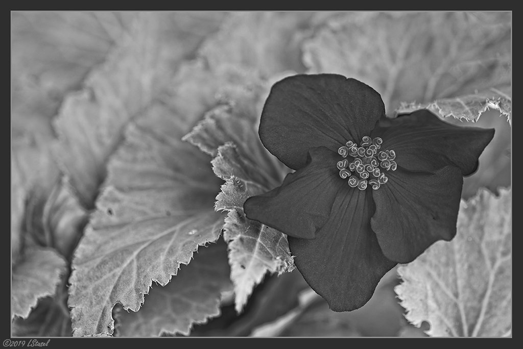 Begonia by lstasel