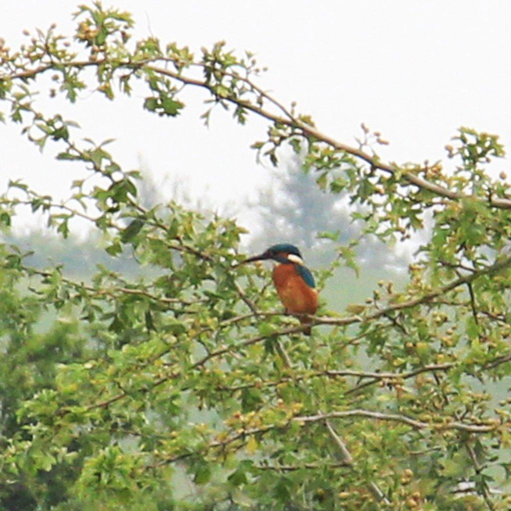kingfisher by callymazoo