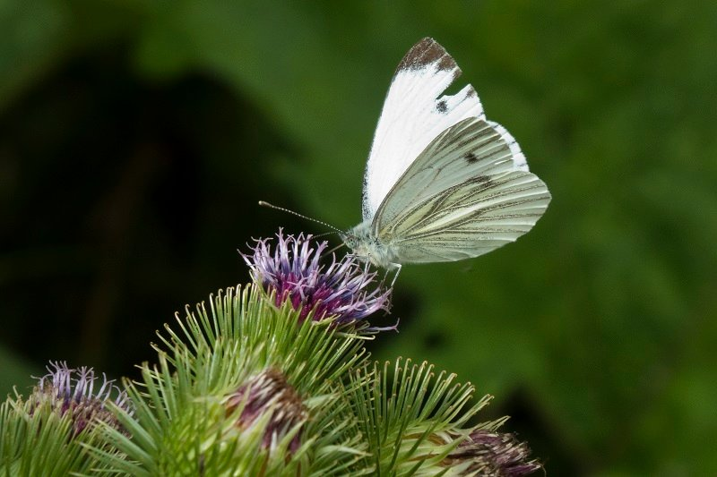 Cabbage white on greater burdoch by helenhall