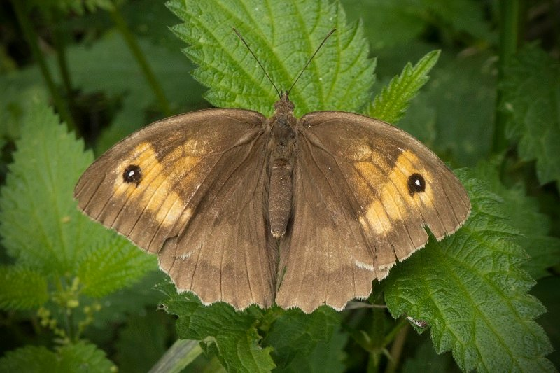 meadow brown by helenhall