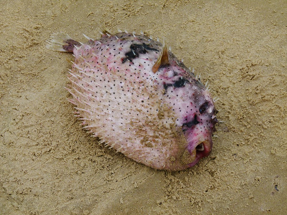Pufferfish by onewing