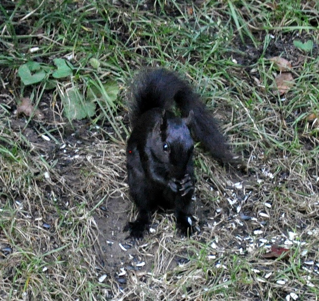 A black squirrel by sailingmusic
