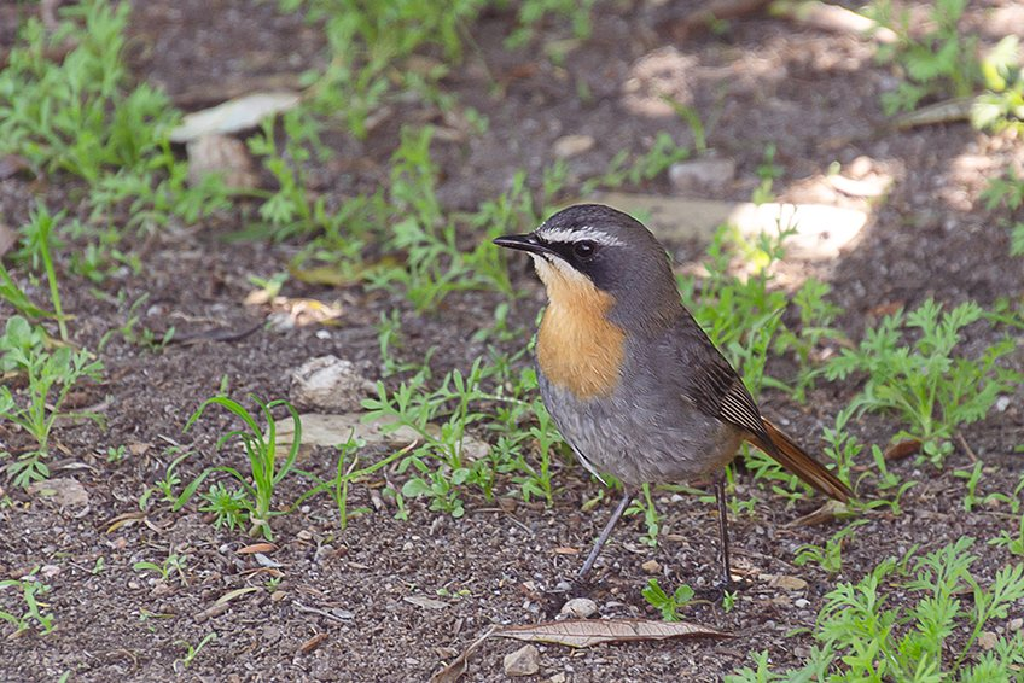Cape Robin by salza