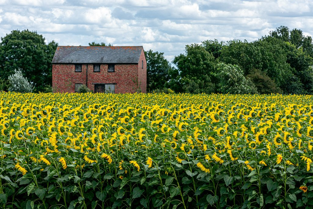 More Sunflowers by rjb71