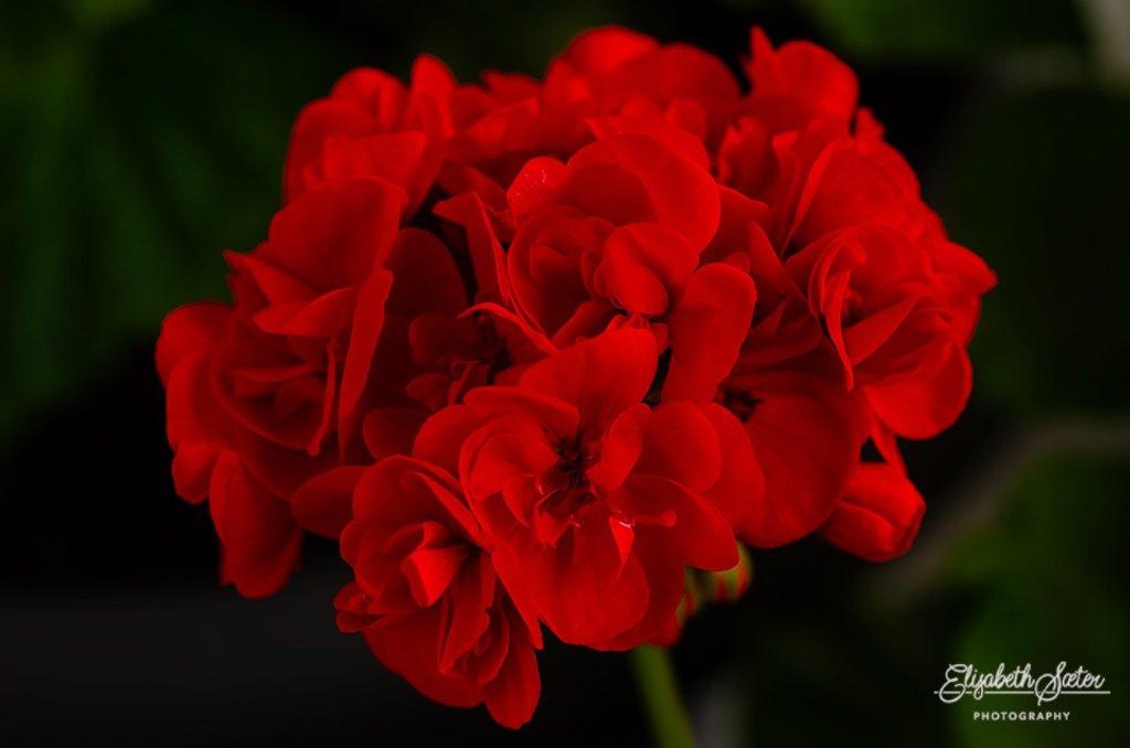 Begonia by elisasaeter