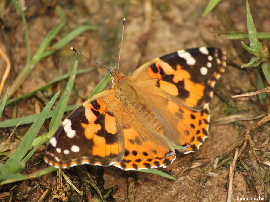 Painted Lady by rhoing