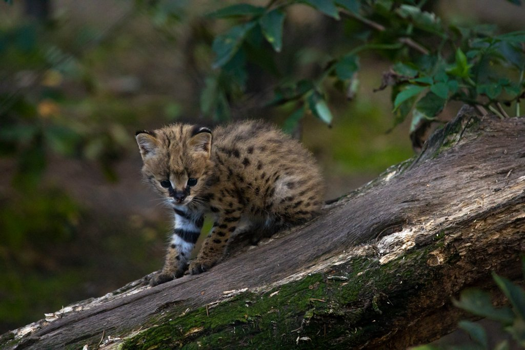 Serval Kitten by leonbuys83