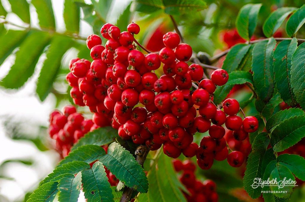 Rowan-berry by elisasaeter