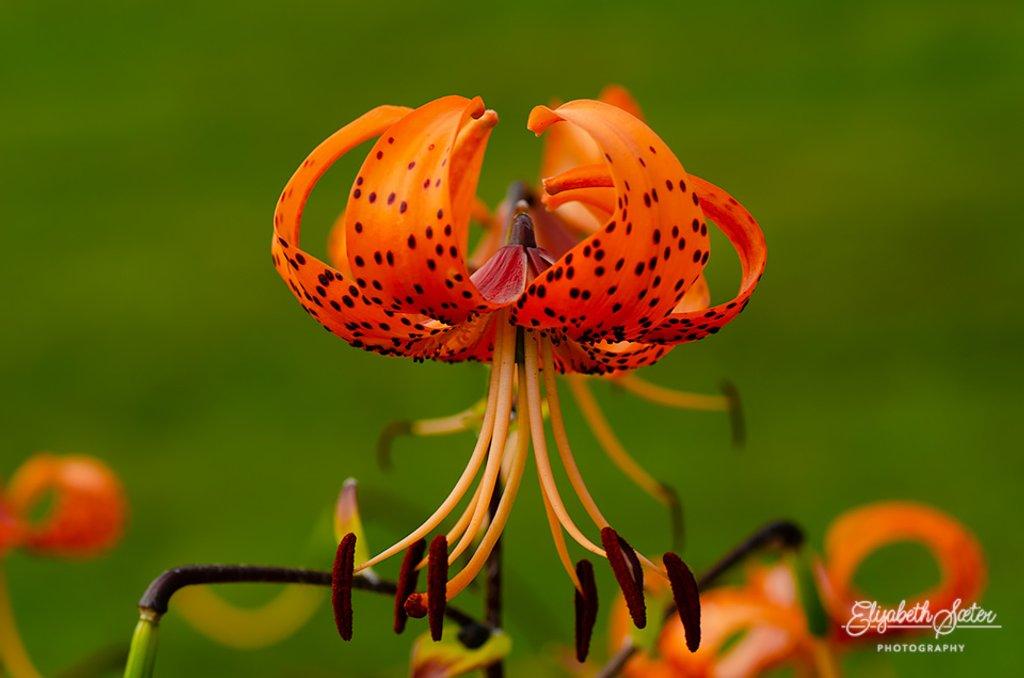 Tigerlilje ( Lilium lancifolium ) by elisasaeter