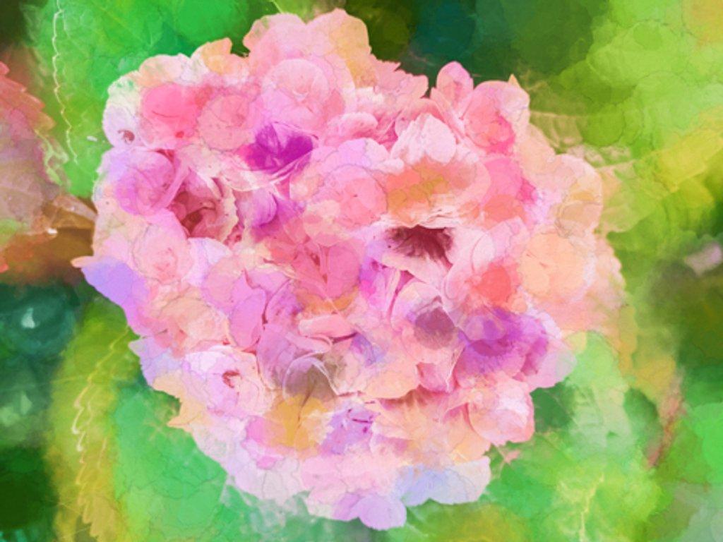 Hydrangea by pamknowler
