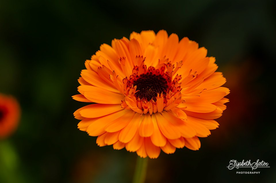 Orange flower by elisasaeter
