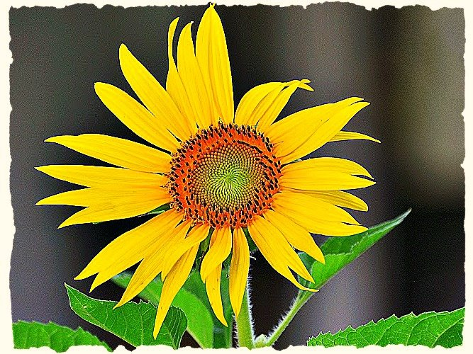 Sunflower by peggysirk