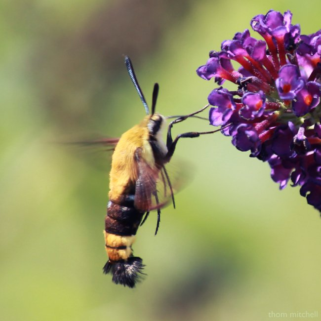Snowberry Clearwing  by rhoing