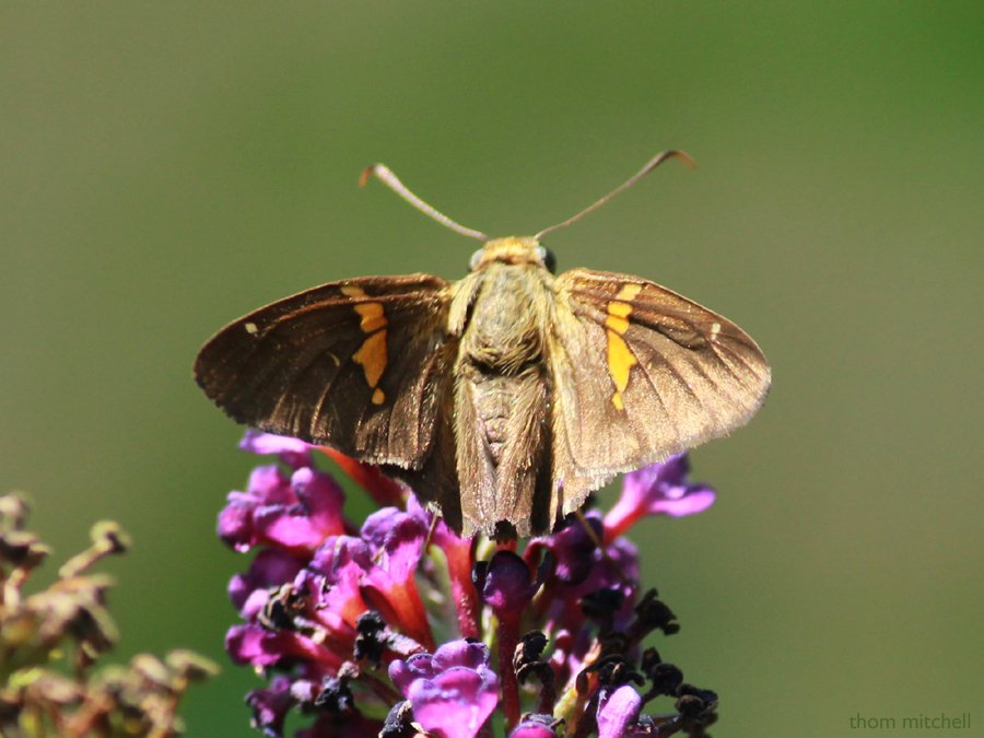 Silver-spotted Skipper [Filler] by rhoing