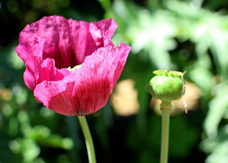 Poppy -  Past and Present by ninaganci