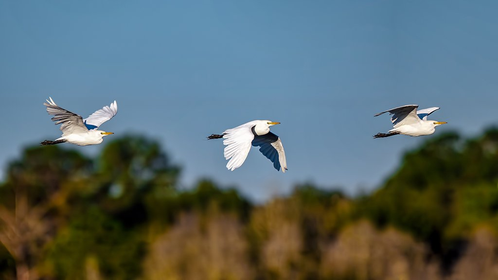 A Cattle Egret in flight... by photographycrazy