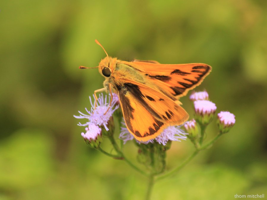 Fiery Skipper, top view by rhoing