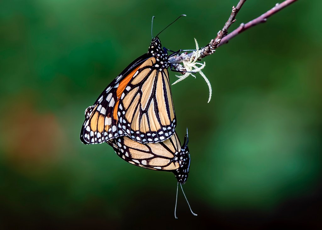 Double Monarch by photographycrazy