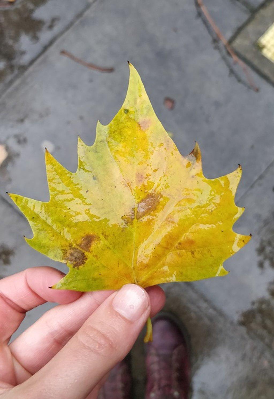 London Plane Leaf by roachling