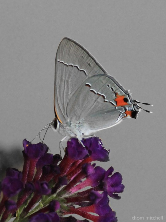 Gray Hairstreak (first this year) by rhoing
