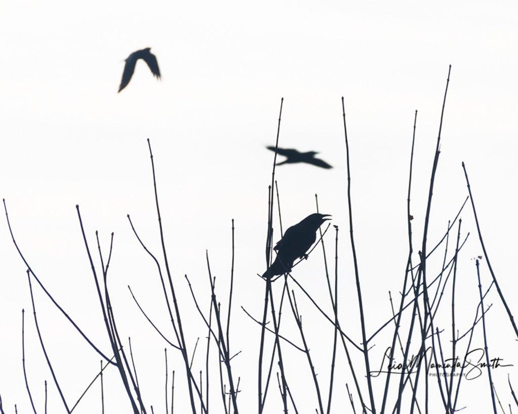 Crow calling by princessleia
