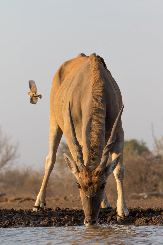 Eland Antelope by leonbuys83