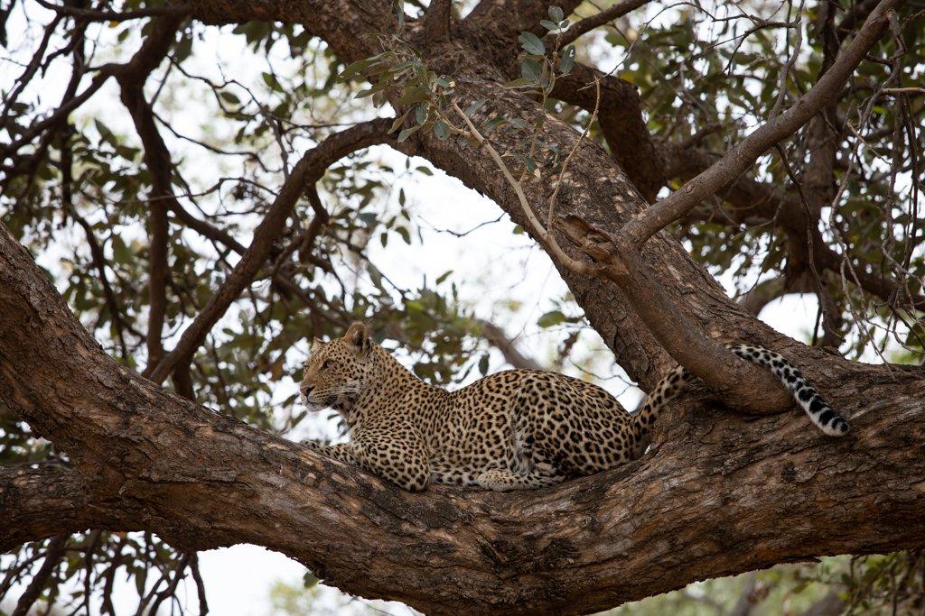 Leopard in Mashatu by leonbuys83