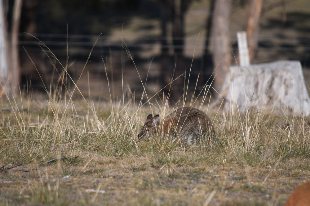 Lets play - Hide, go seek a Wallaby by kgolab