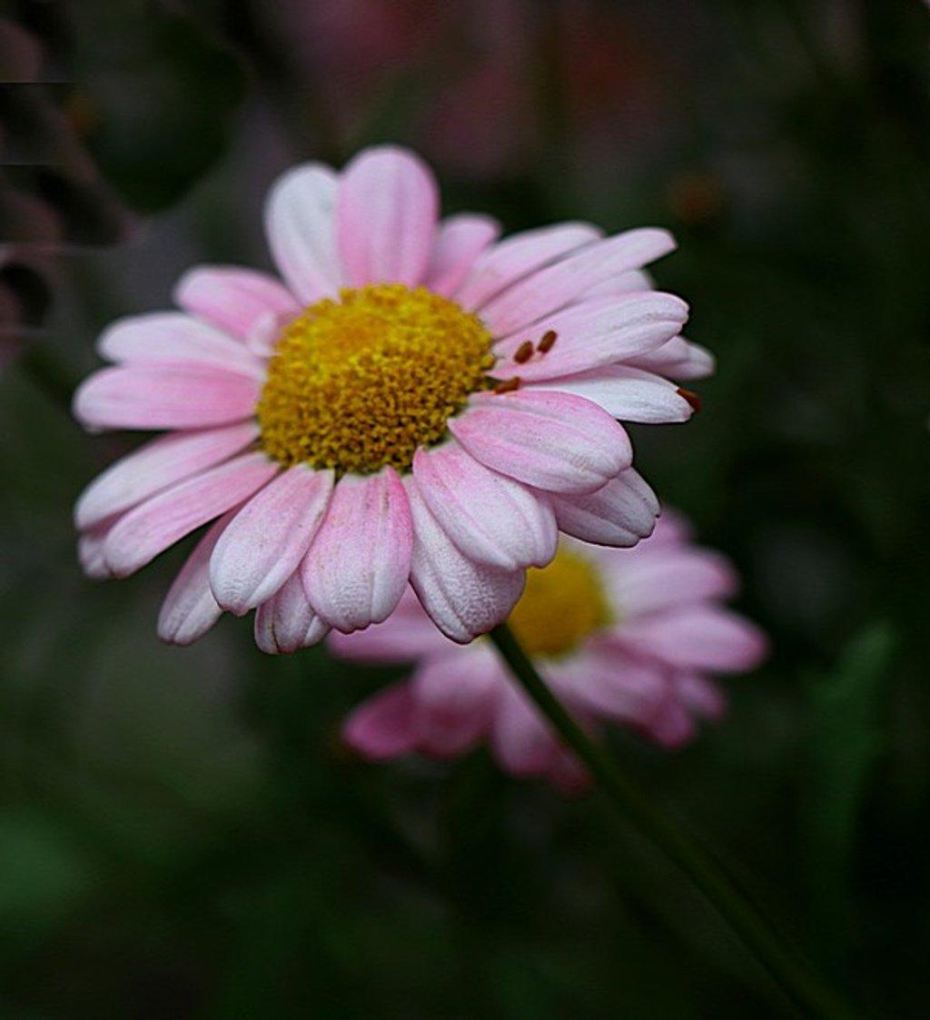 Daisy by ninaganci