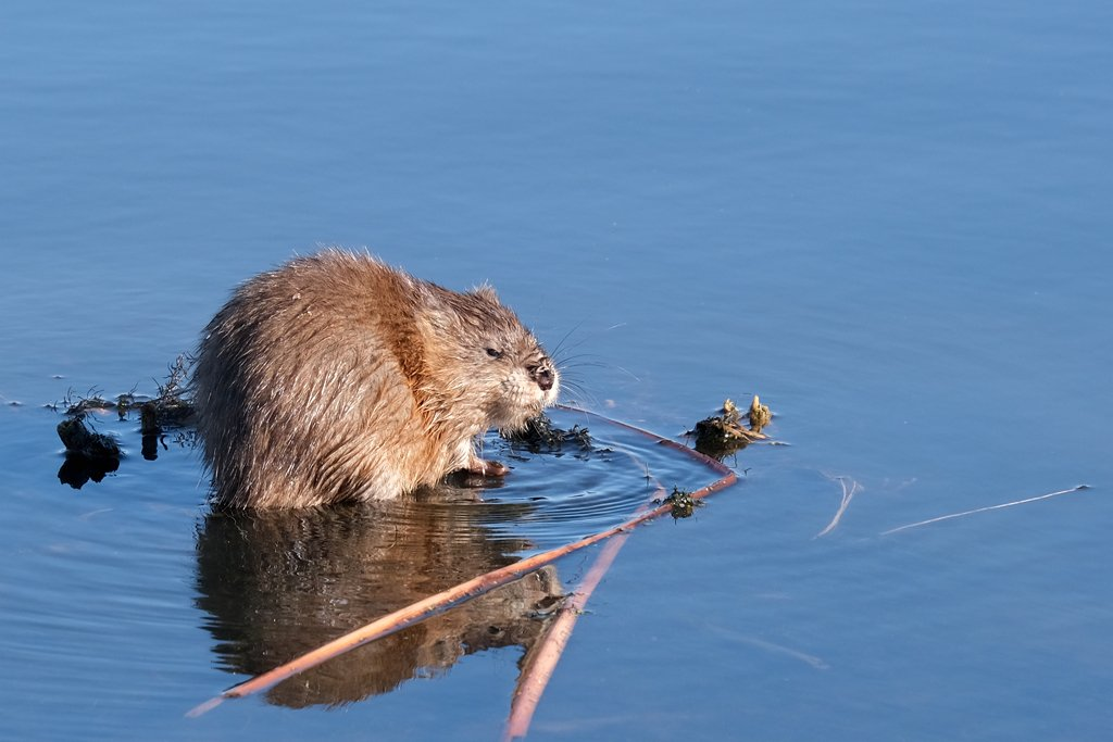 Muskrat by lsquared