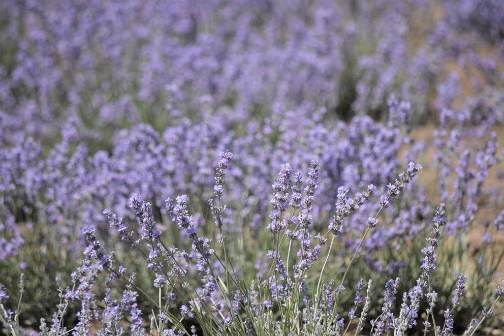 Lavender by kgolab