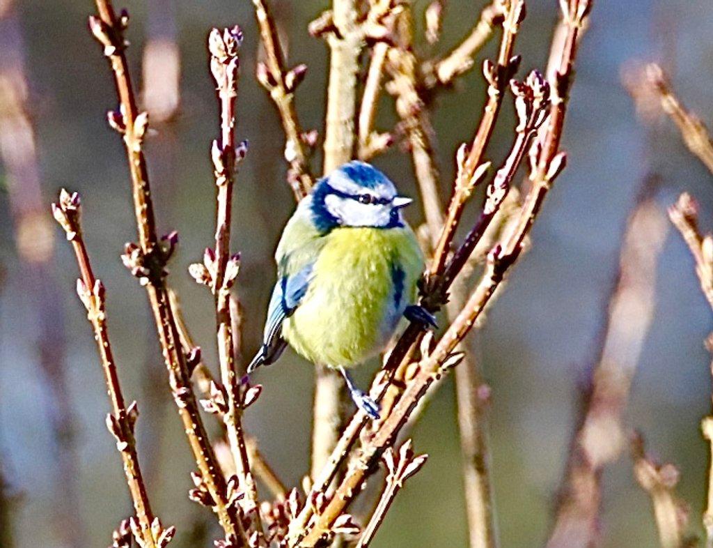 Sunny Blue Tit by carole_sandford