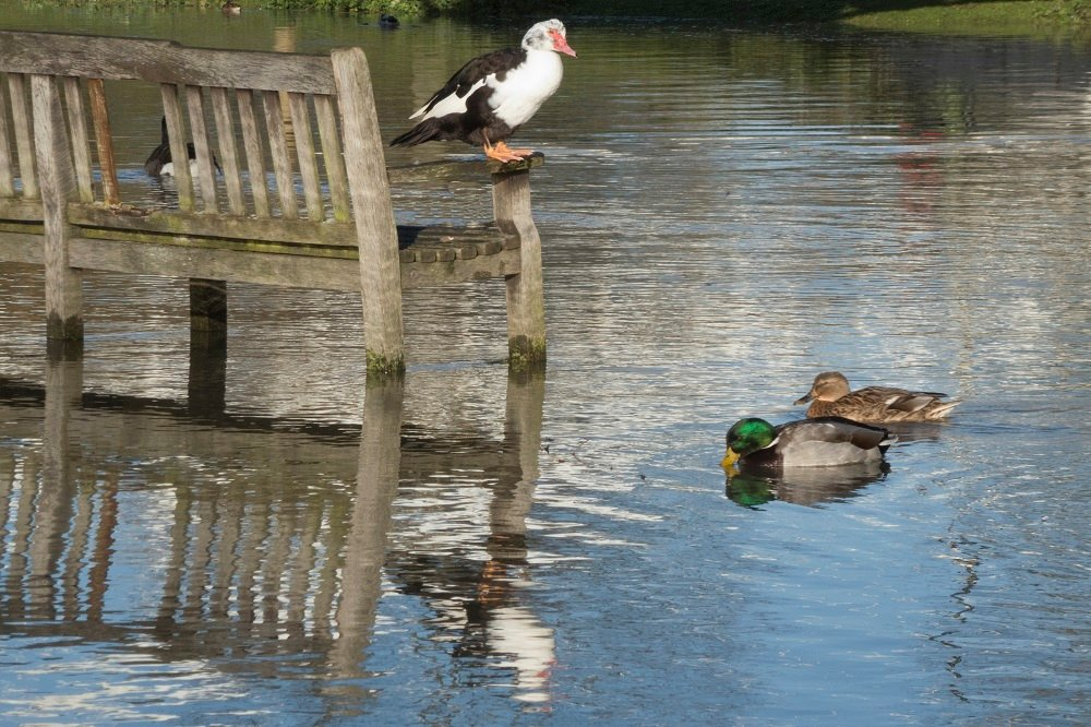 Duck out of Water by helenhall