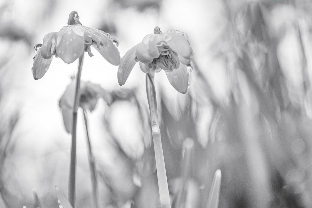 Raindrops on Snowdrops by rjb71
