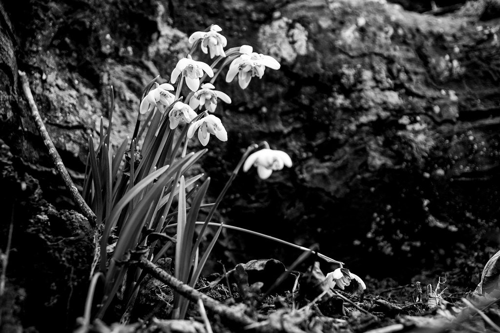 More Snowdrops!  by rjb71