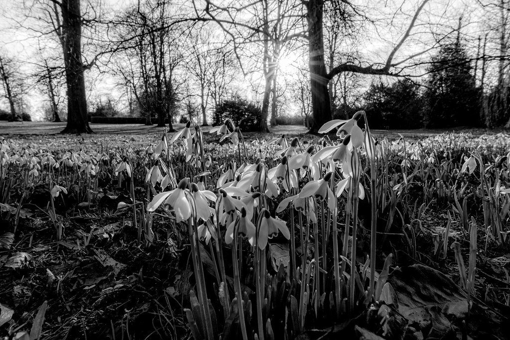 Snowdrops continue by rjb71