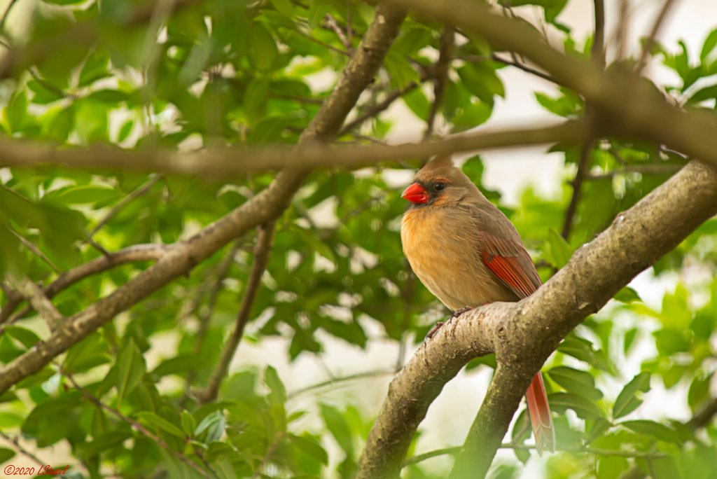 Cardinal by lstasel