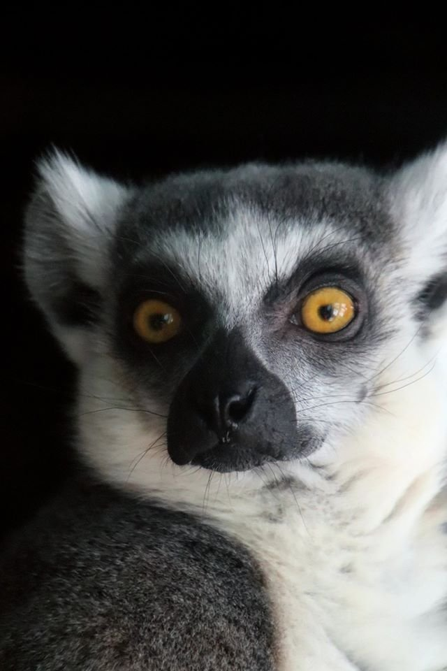 Lemur by randy23
