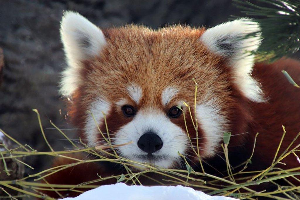 Red Panda by randy23